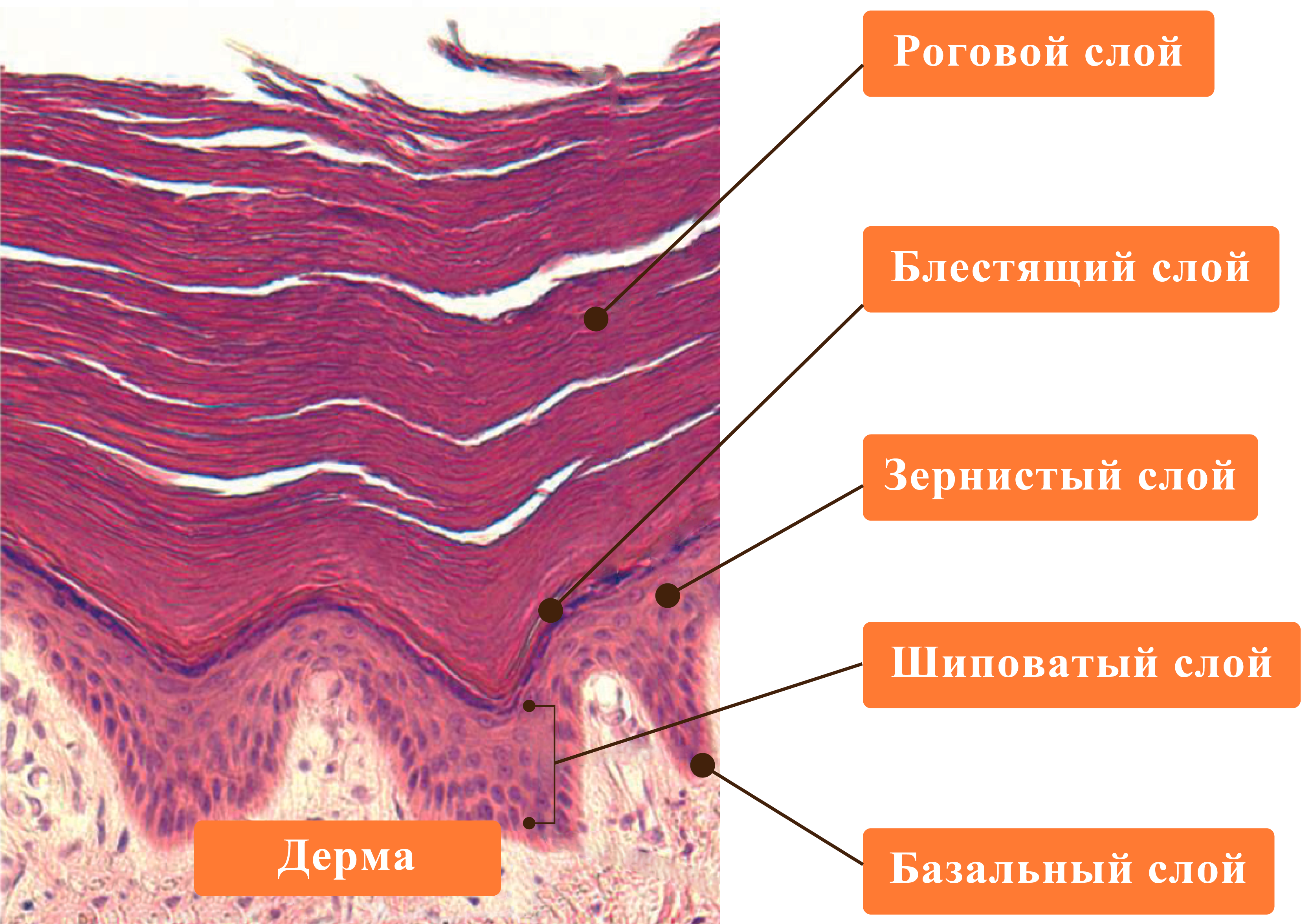наша кожа под микроскопом