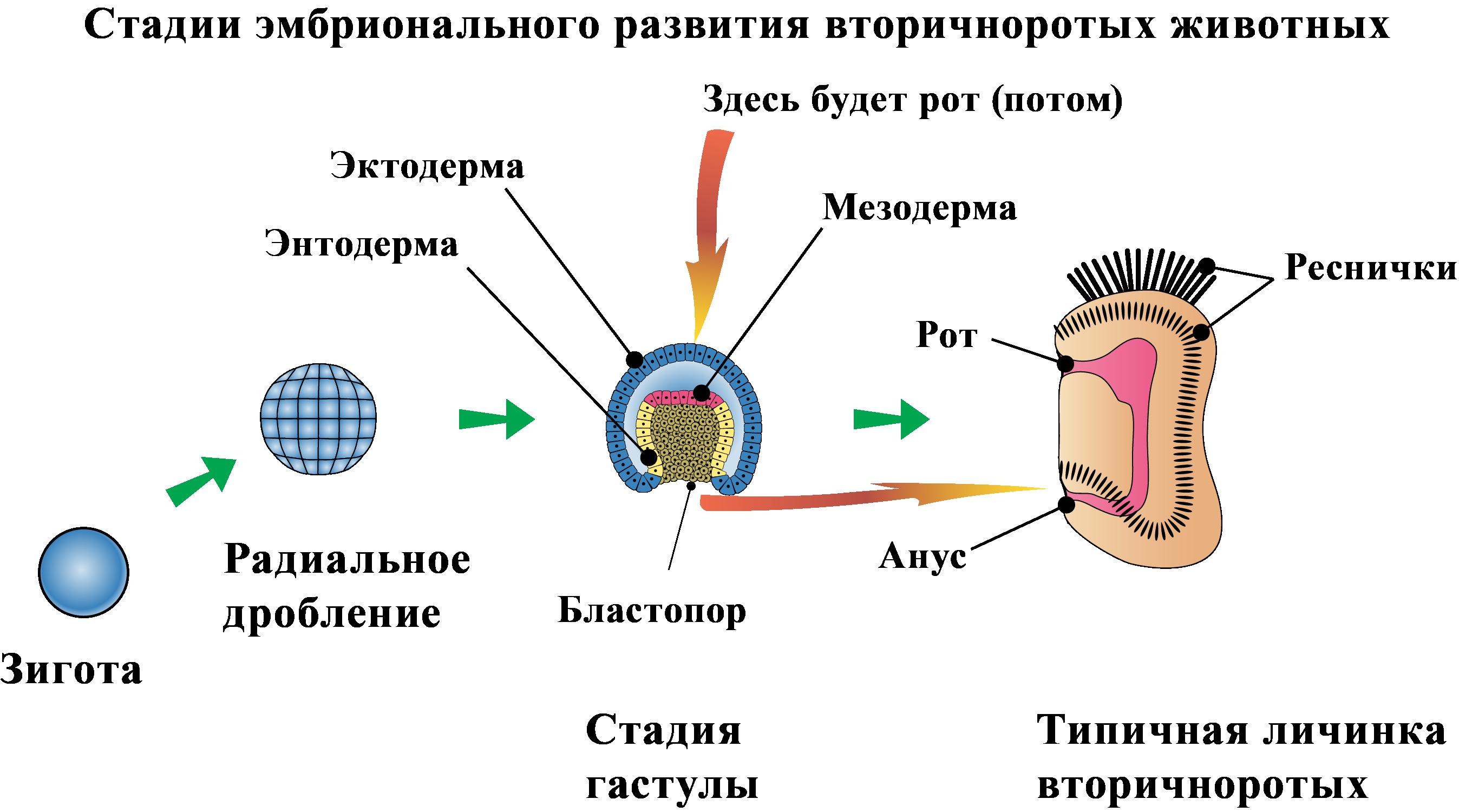 Стадии эмбрионального развития вторичноротых животных