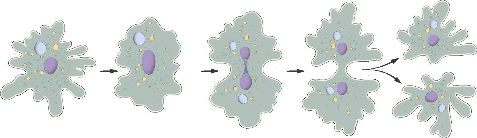 Митотическое деление амебы
