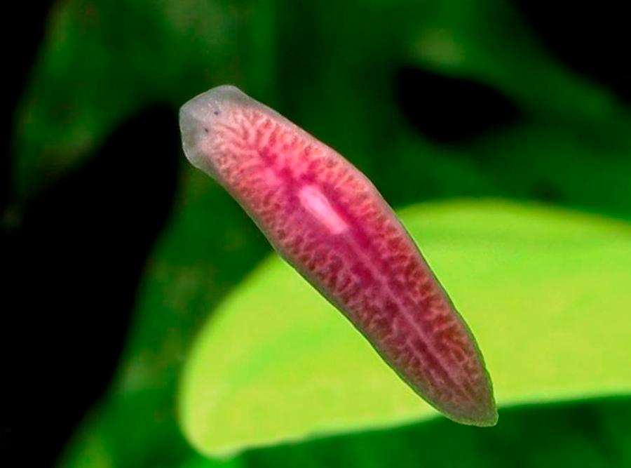 Плоский червь- планария