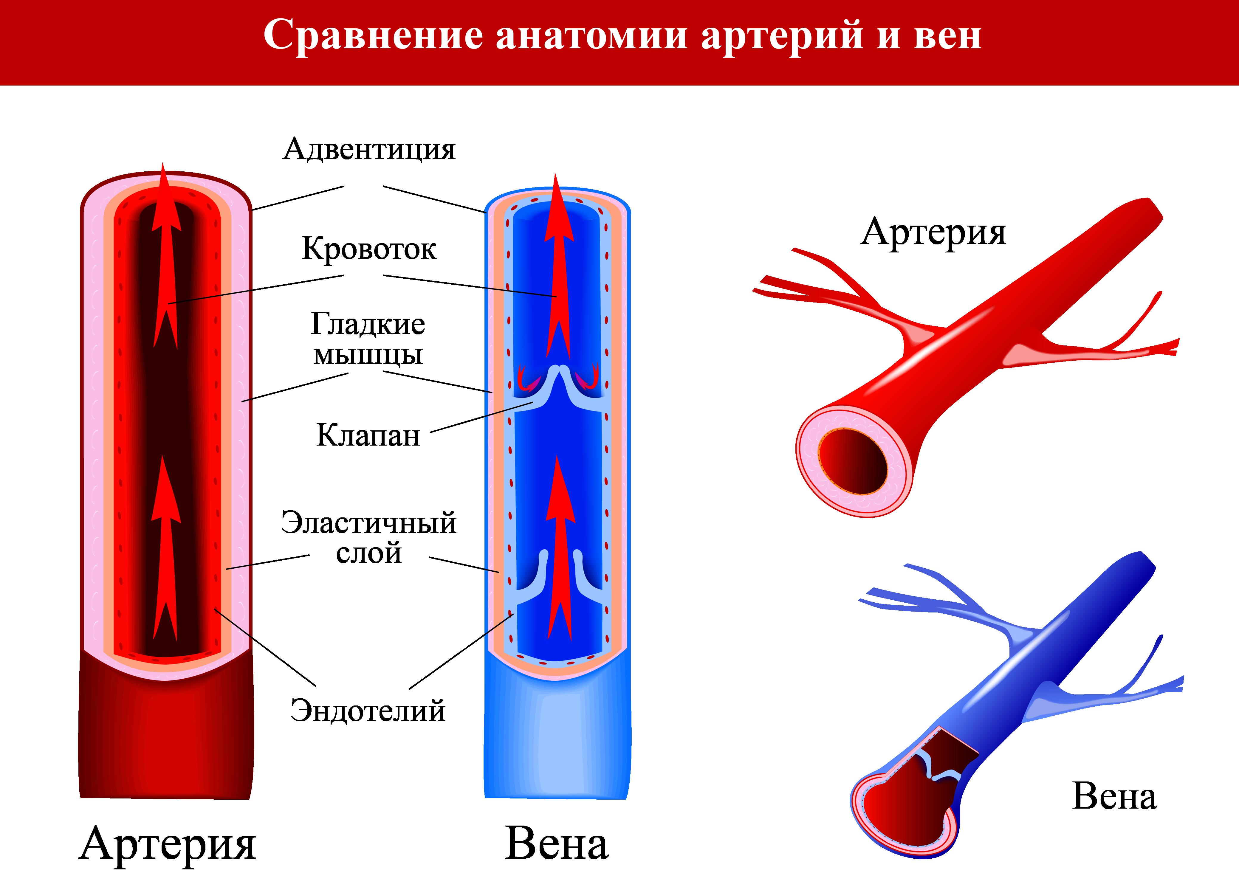 Сравнение анатомии артерий и вен