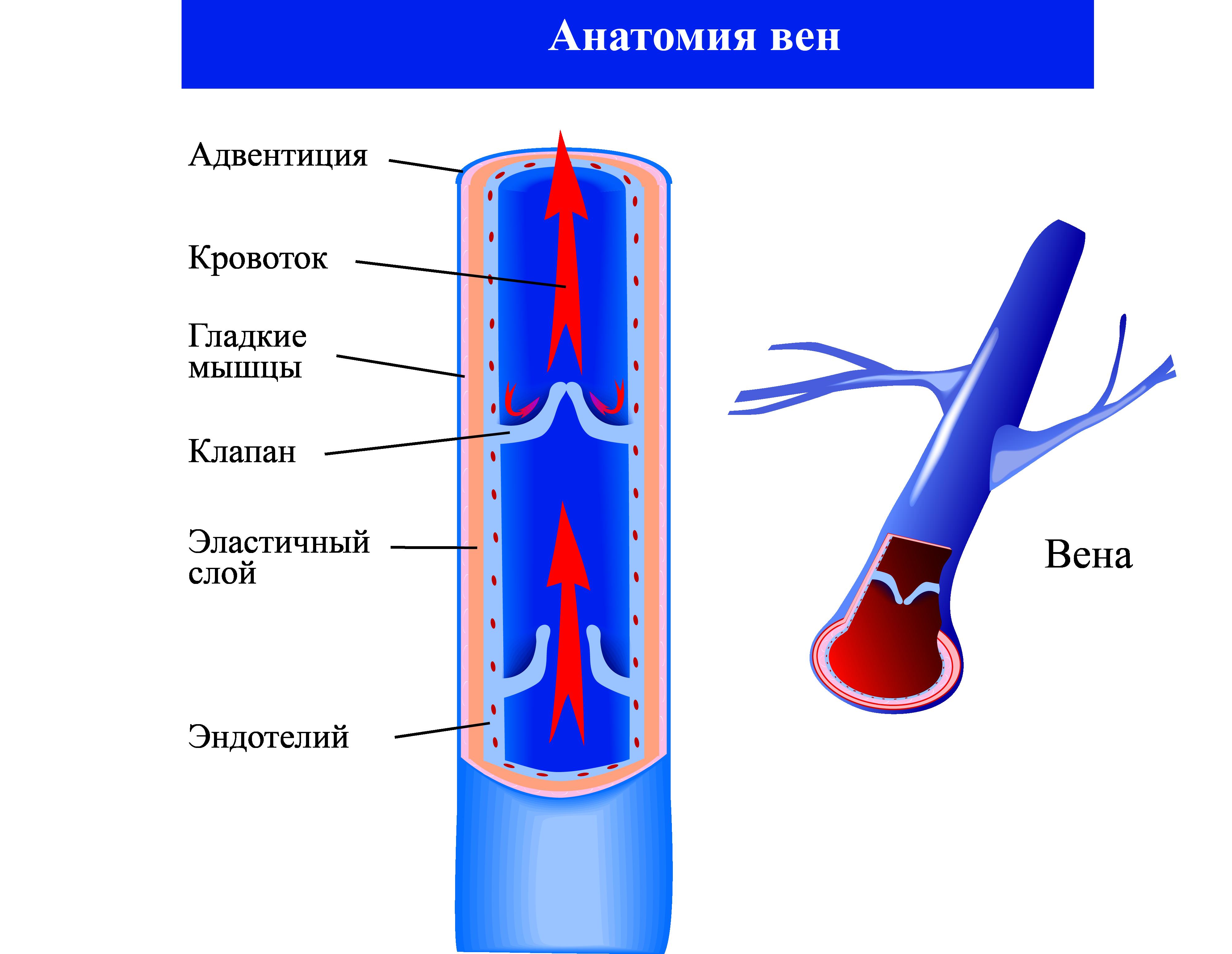 Анатомия вен