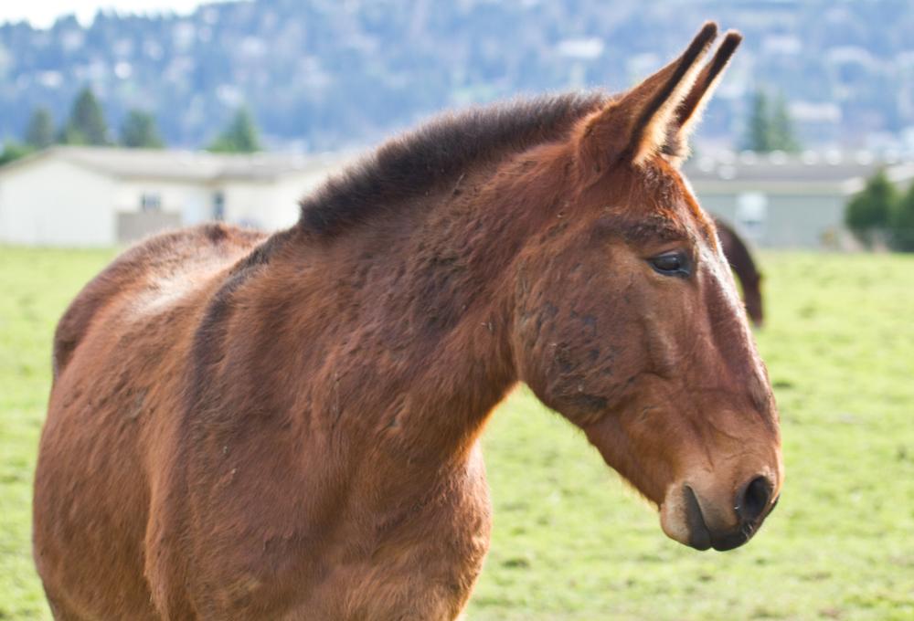 мул (гибрид осла и лошади)- бесплоден