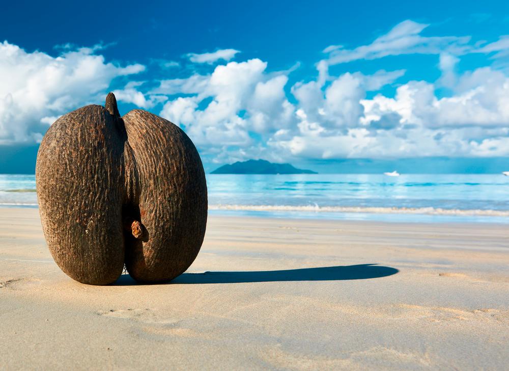 сейшельский морской орех