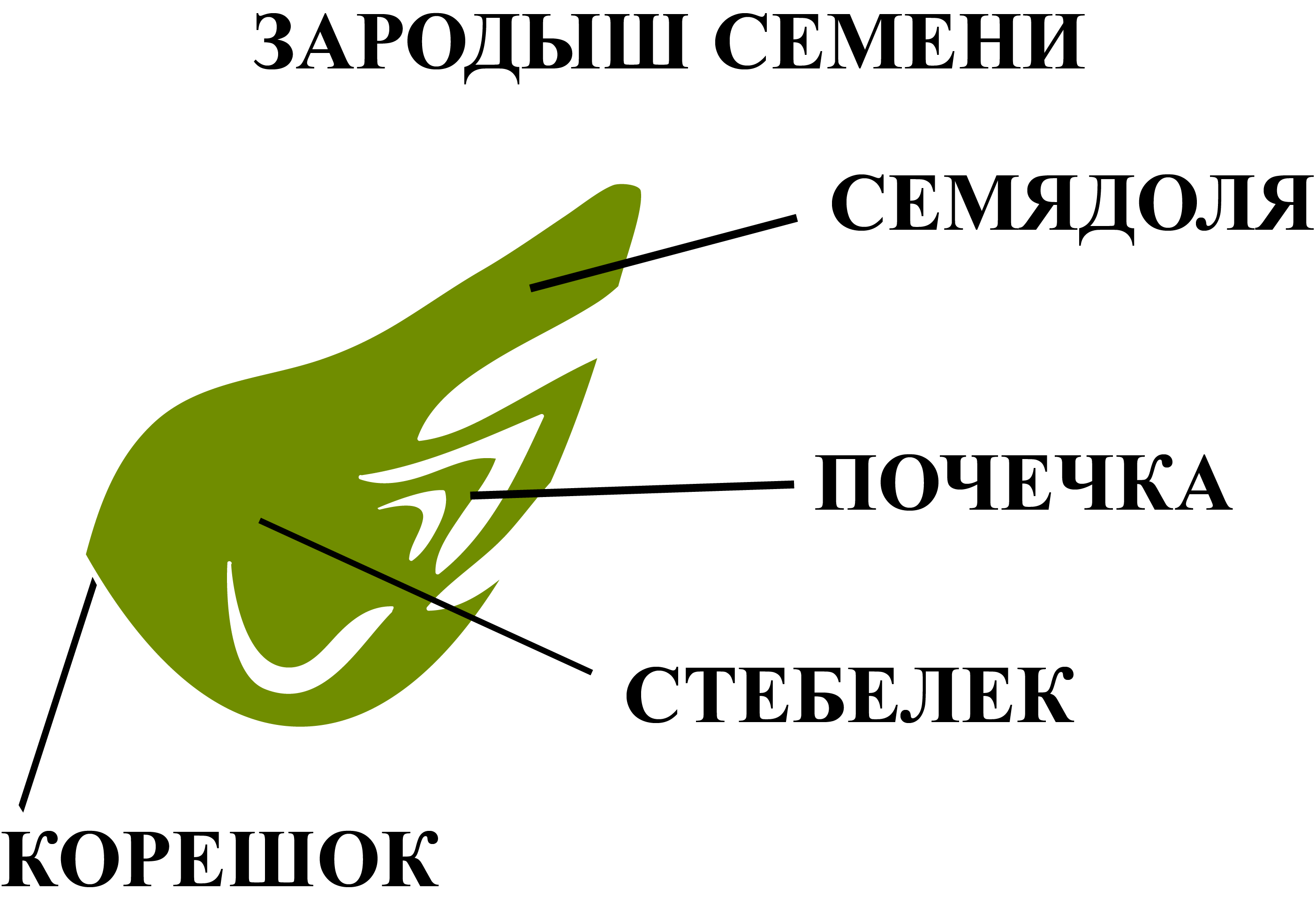 Зародыш в семени