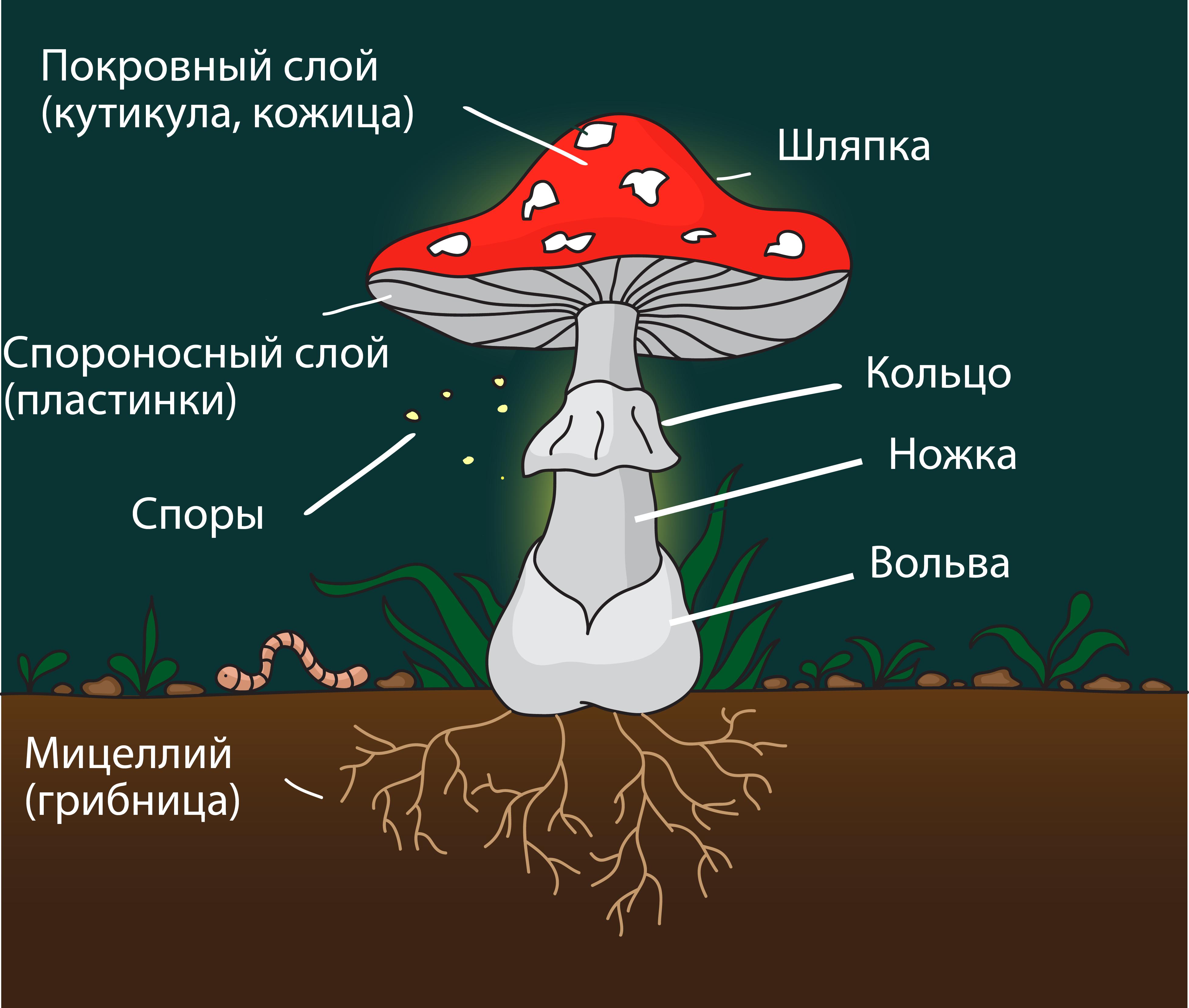 шляпочный гриб
