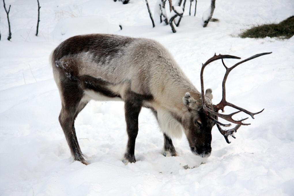 Лишайник ягель служит пищей для северных оленей