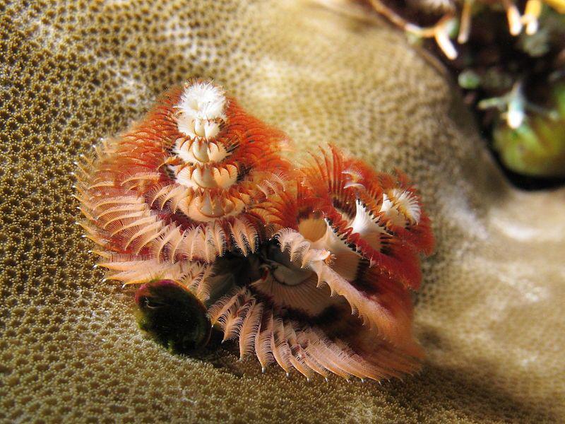 Сидячий многощетинковый червь
