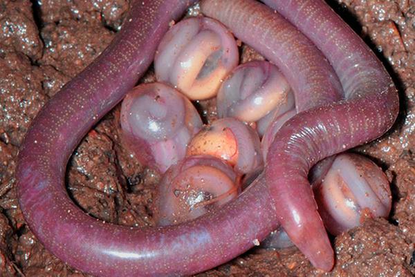 Спаривание дождевых червей