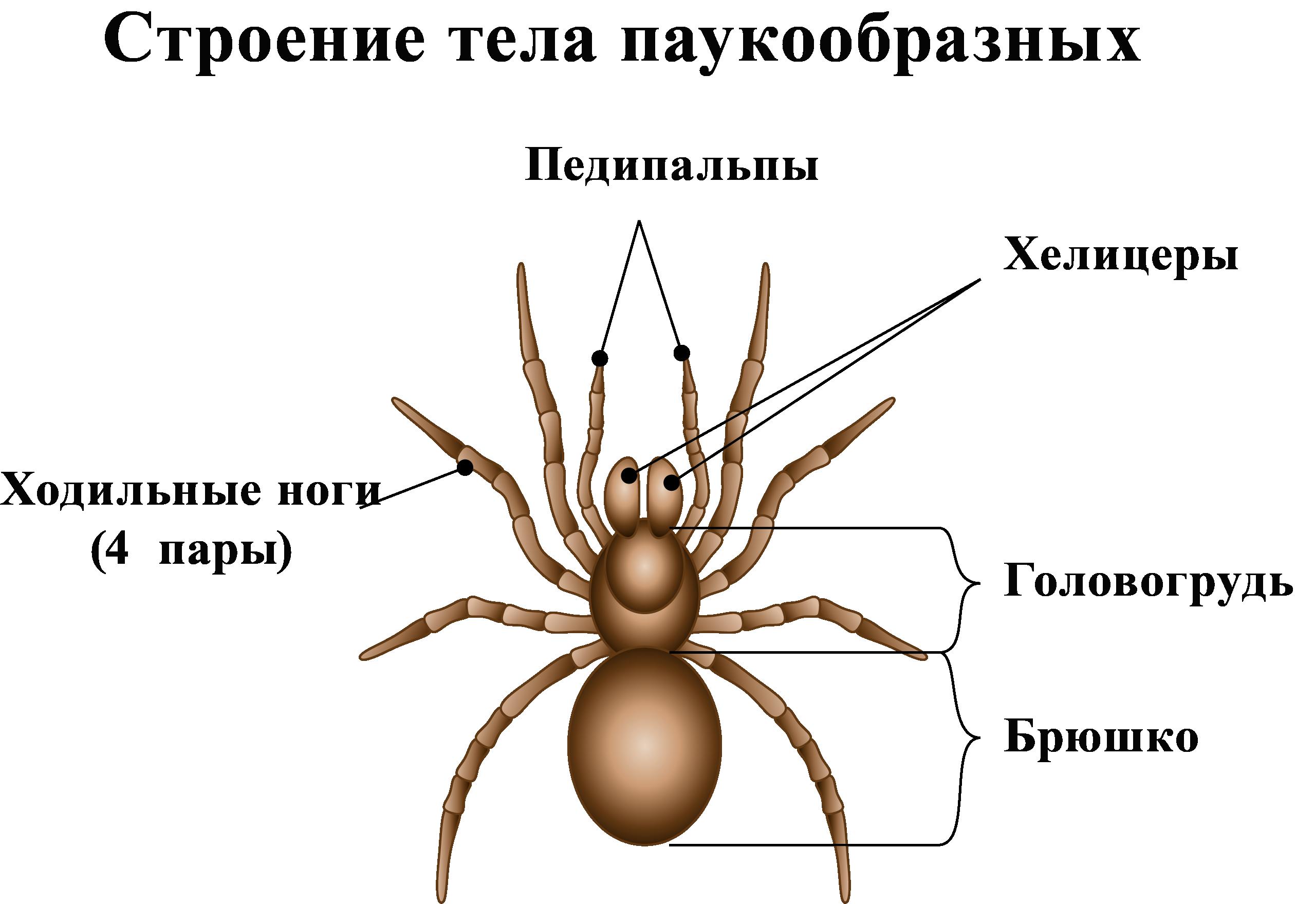 Строение тела паукообразных