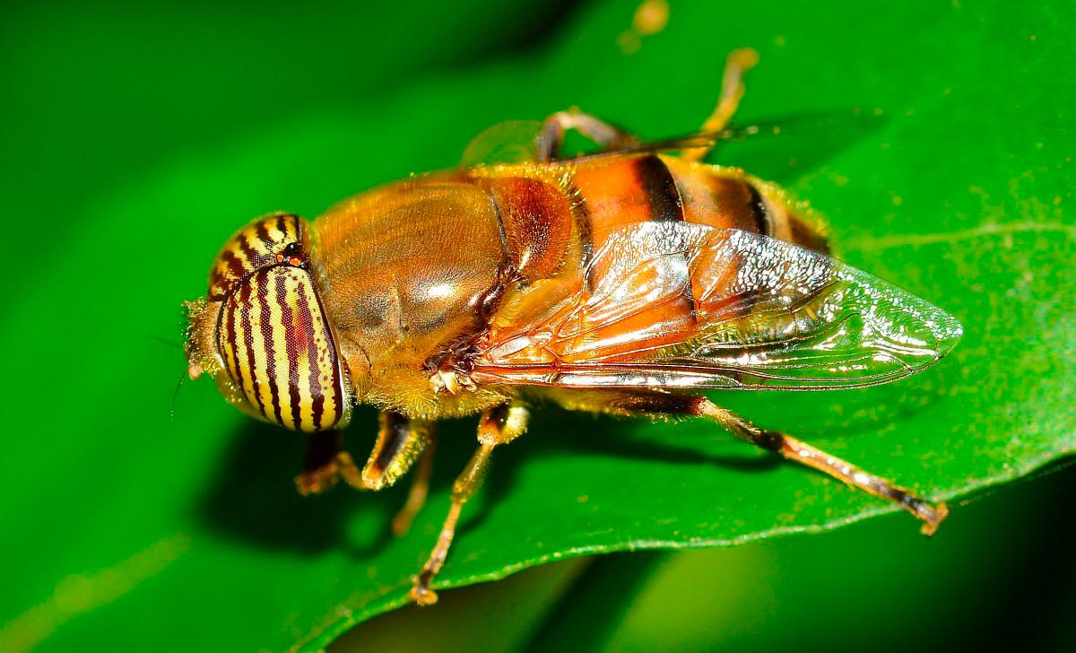Крылья у насекомых