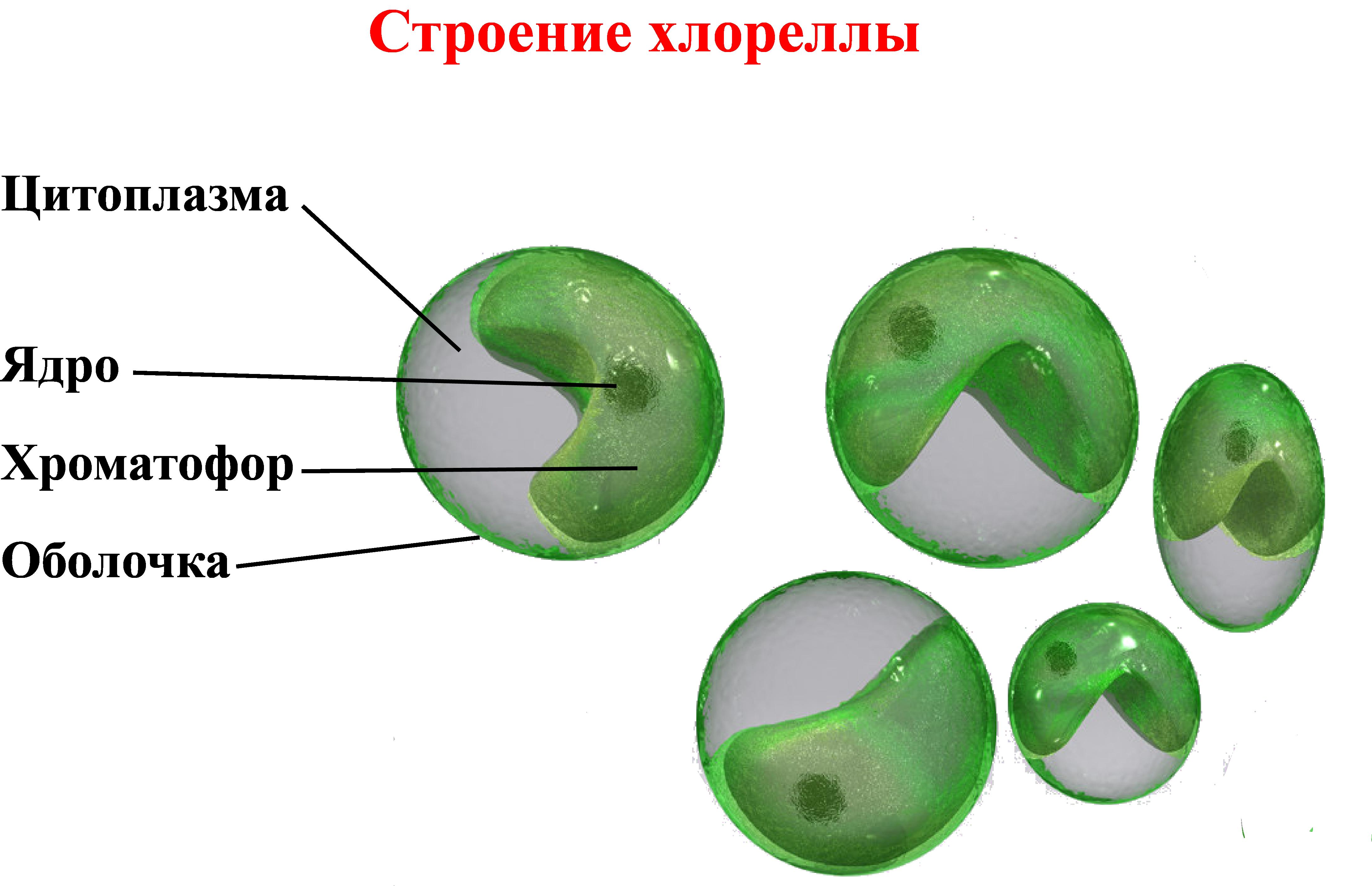 хлорелла