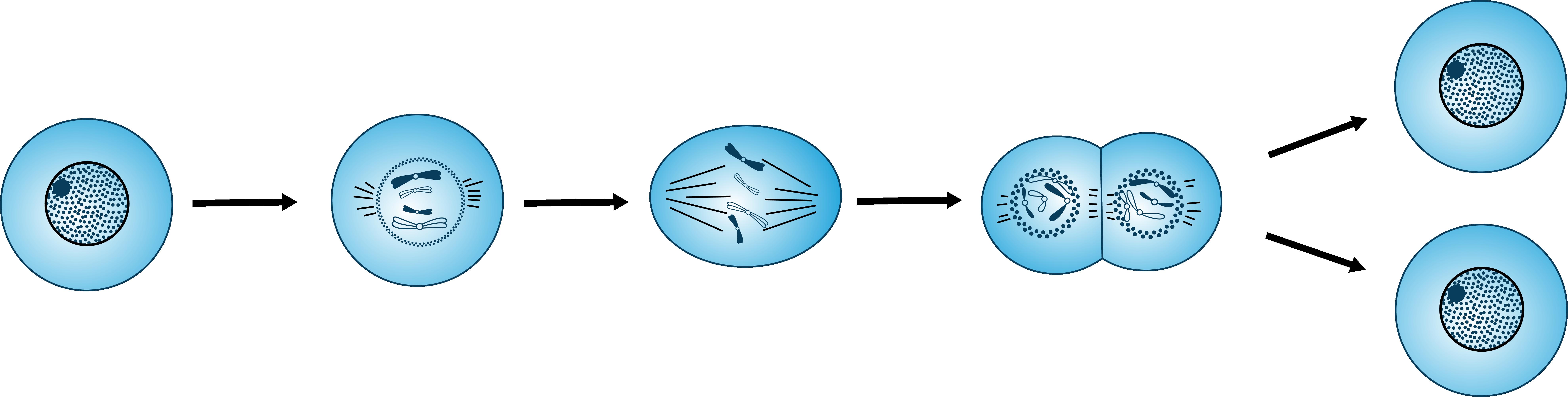 бактерии размножается простым делением