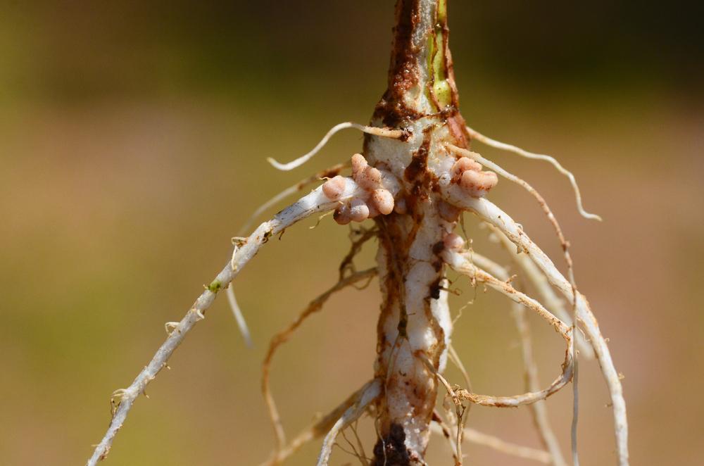 Клубеньковые бактерии на корнях фасоли