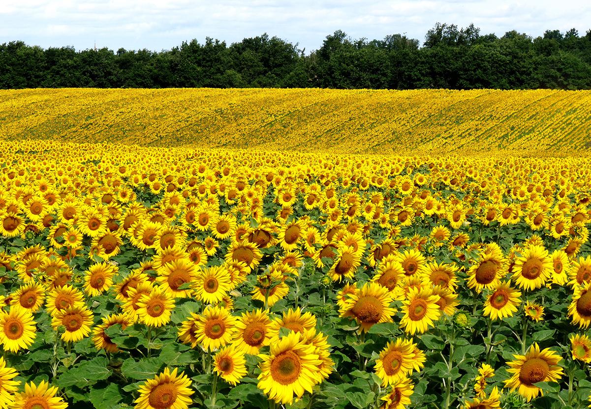 цветок на плантации подсолнечника