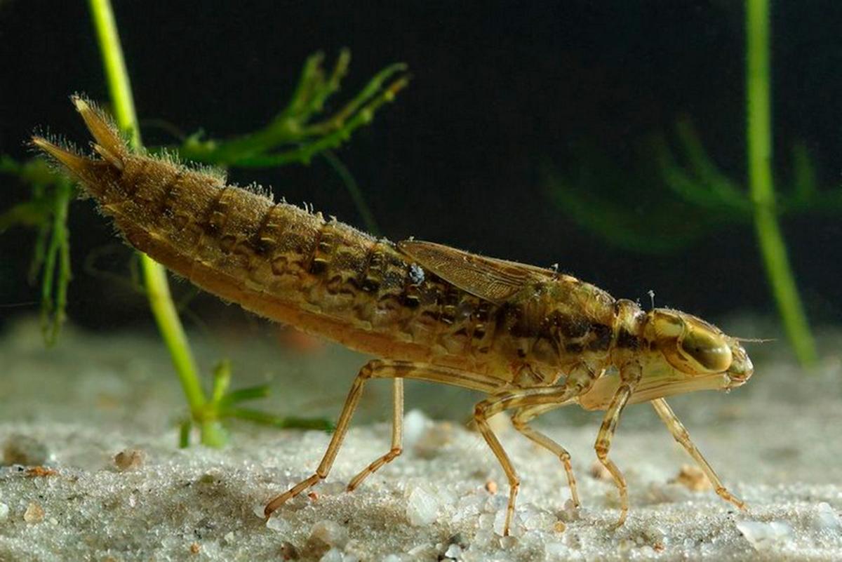 Личинки стрекоз называются нимфами