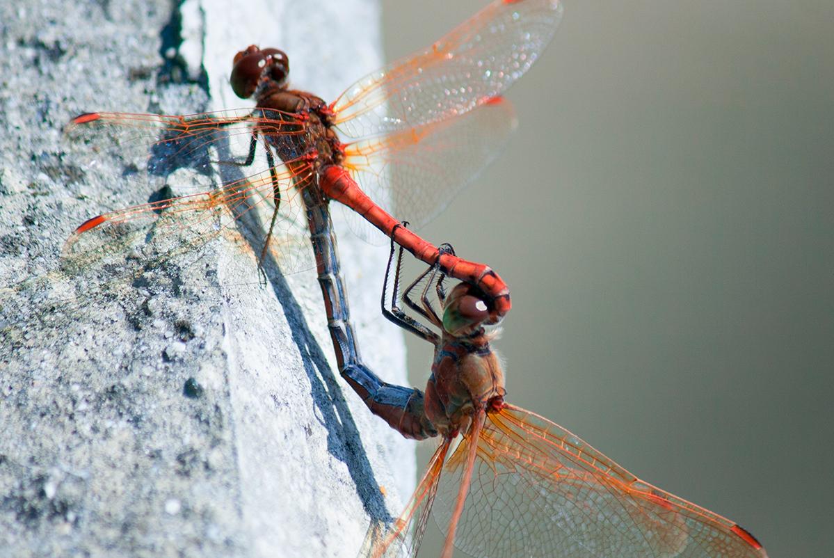 Стрекозы некоторых видов спариваются прямо на лету