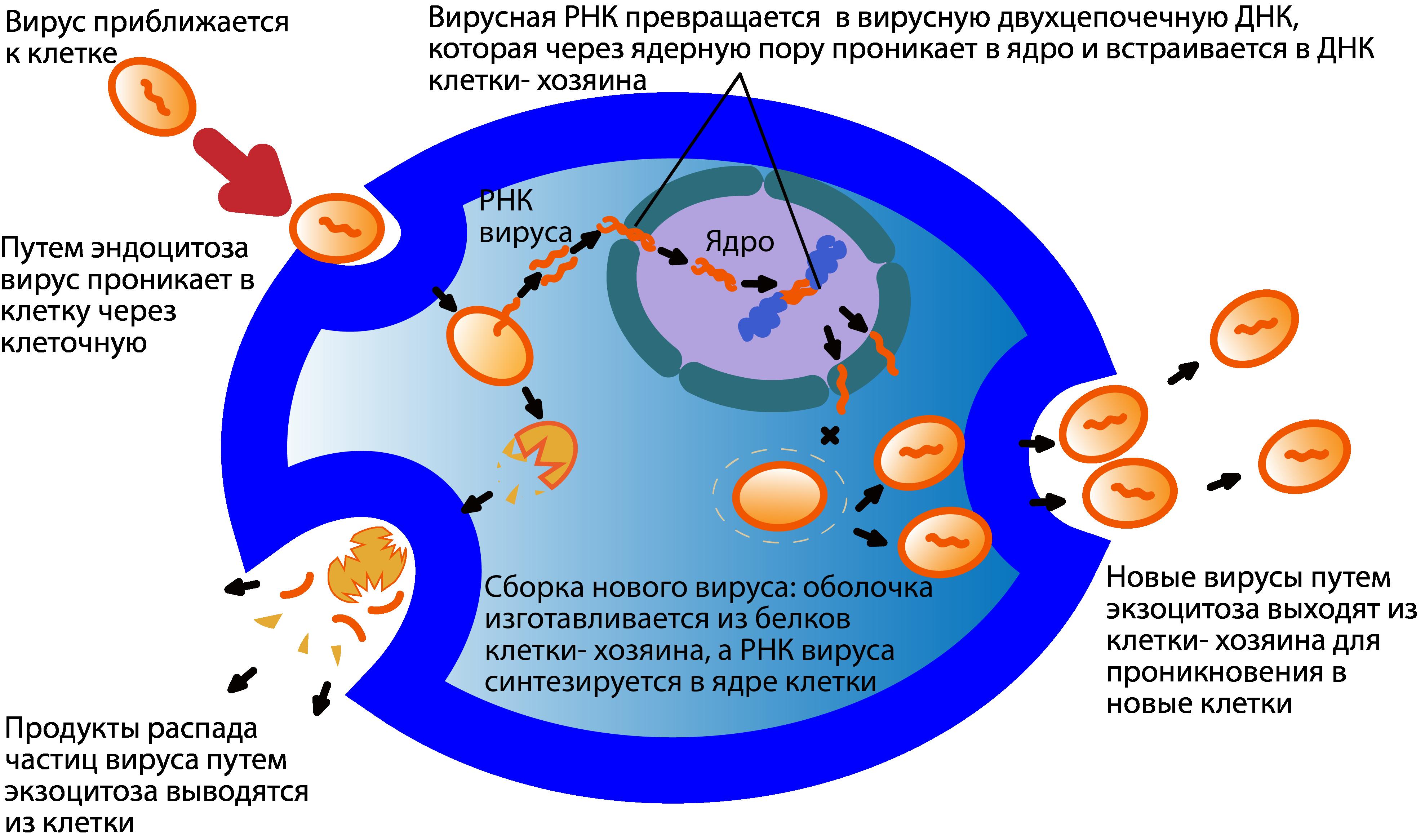 вирус проникает и живет в клетке