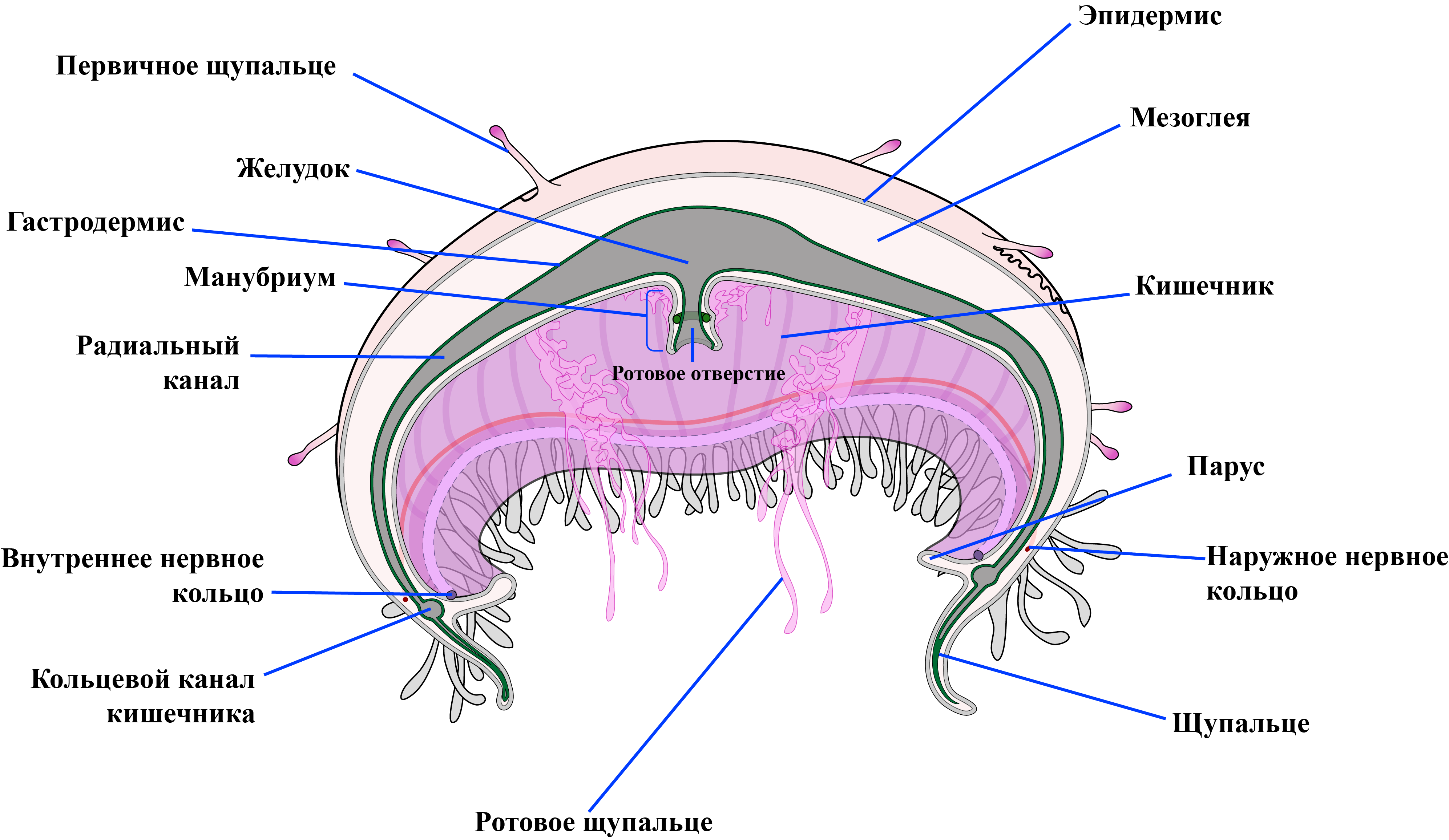 Строение медузы