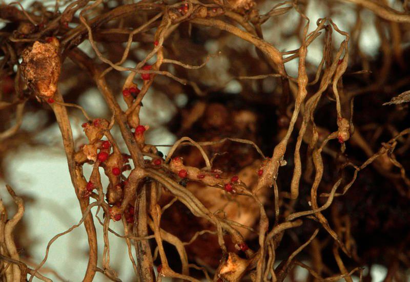 корни растения, пораженного паразитическими нематодами